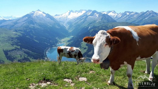 Gerlos koeien