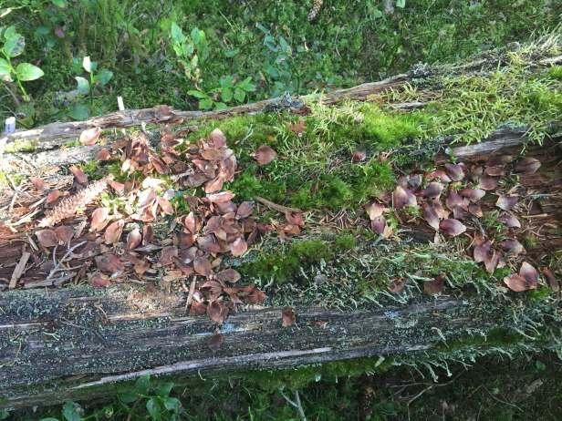 Ekorn har spist grankongle på et gammelt dødt tre - Oslomarka - Fantastiske marka