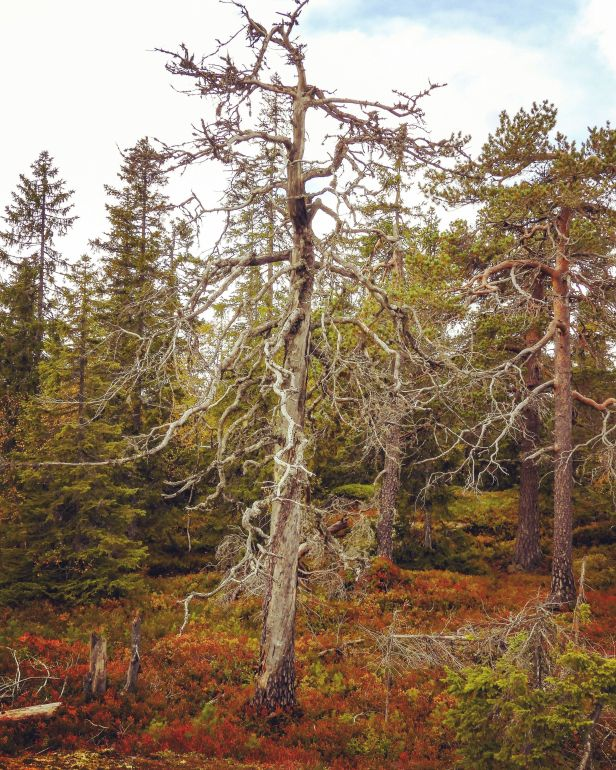 En krokfuru på Pershusfjellet - Oslomarka - Nordmarka - Fantastiske marka