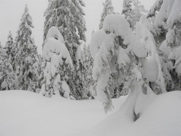 Snøtunge trær om vinteren - Oslomarka - Nordmarka - Fantastiske marka
