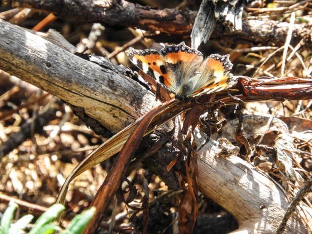 Sommerfugler - Neslesommerfugl - Vårtegn - Oslomarka - Fantastiske marka