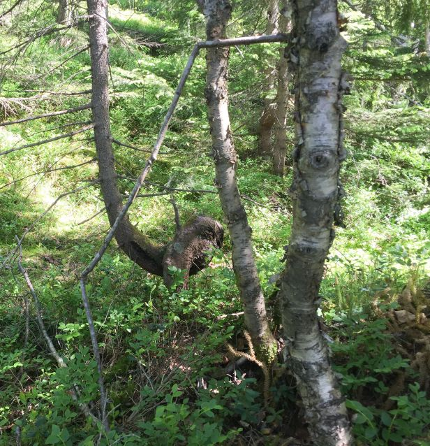 Grantre som korrigerer veksten på stammen - Oslomarka - Fantastiske marka