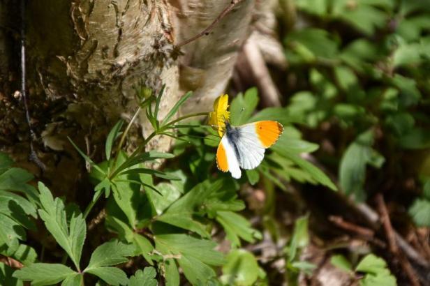 Aurorasommerfugl med sine typiske oransje vingetupper - Sommerfulger - Oslomarka - Fantastiske marka