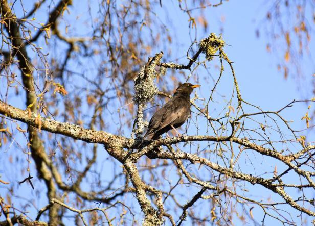 Svarttrost som synger i toppen av et tre - Fugler - Fuglesang - Oslomarka - Fantastiske marka