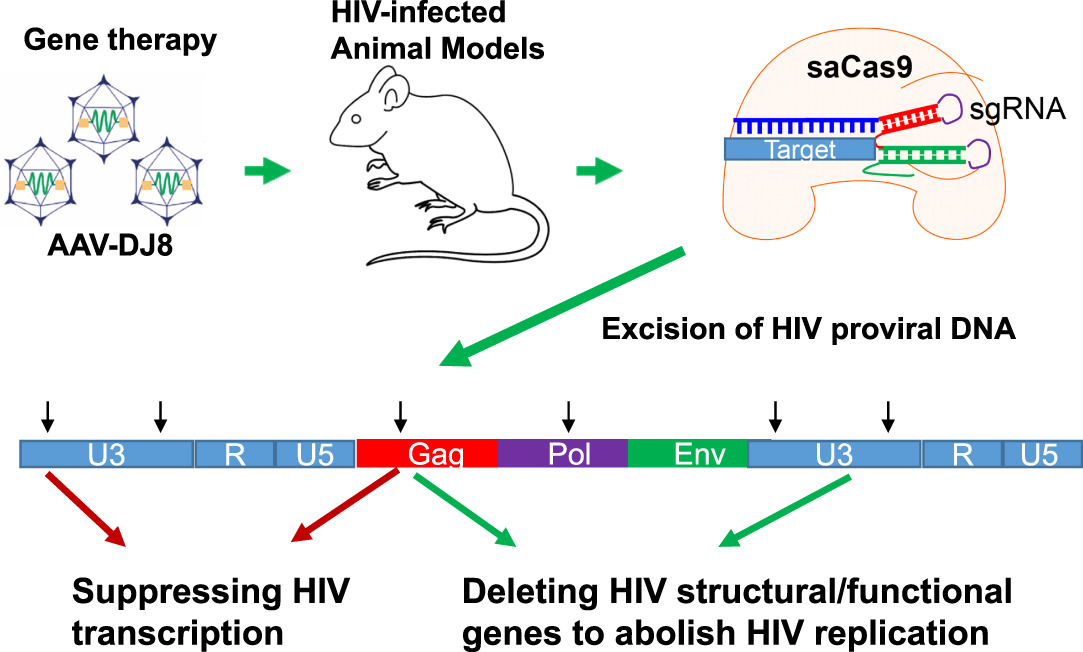 In Vivo Excision of HIV-1 Provirus by saCas9 and Multiplex ...