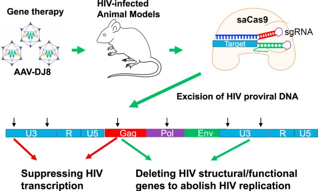 Demonstration of the feasibility and efficiency of excising the HIV-1 provirus in three different animal models using an all-in-one adeno-associated virus
