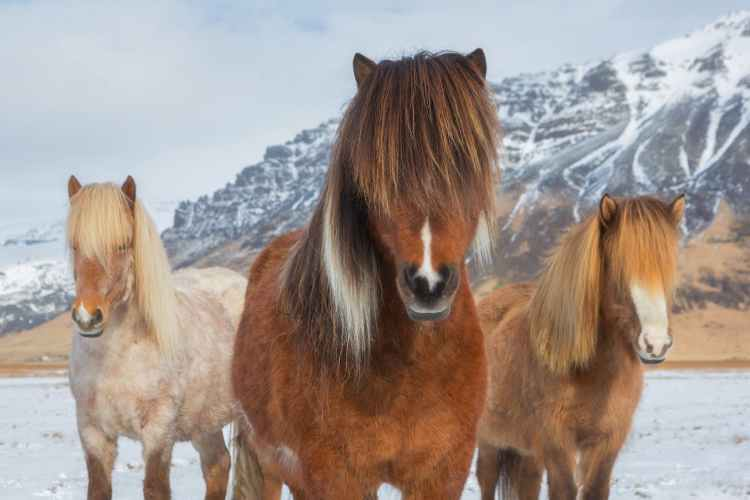 the-essential-guide-to-photographing-the-icelandic-horse-5.jpg