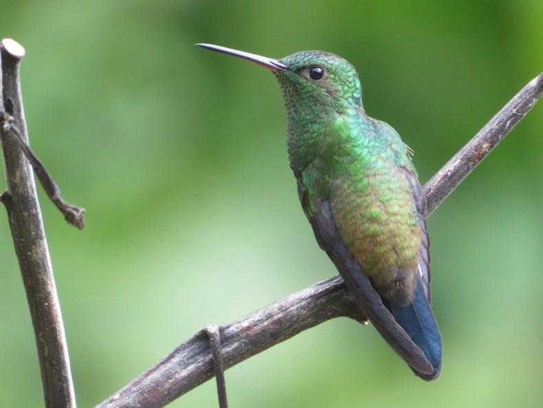 Amazilia coliazul / Amazilia saucerottei / Steely-vented Hummingbird