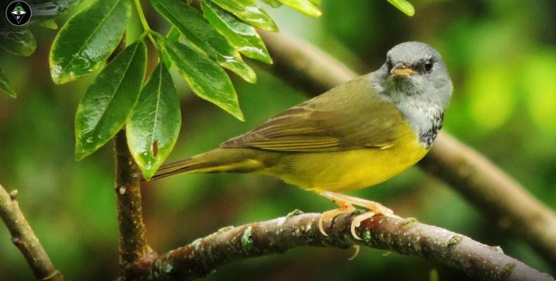 Reinita enlutada (Geothlypis philadelphia) / Mourning Warbler. Fotografía: Sebastián Berrío
