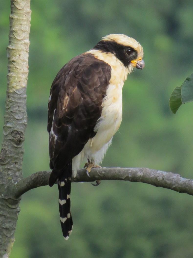 Halcón culebrero (Herpetotheres cachinnans) / Laughing Falcon. Fotografía: Jorge Cano