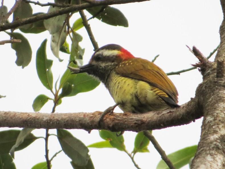 Carpintero buchiamarillo (Dryobates dignus) / Yellow-vented Woodpecker. Fotografía: Jorge Cano