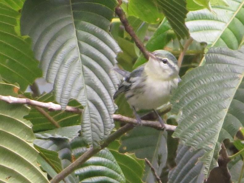 Reinita cielo azul (Setophaga cerulea) / Cerulean Warbler. Fotografía: Sebastián Berrío