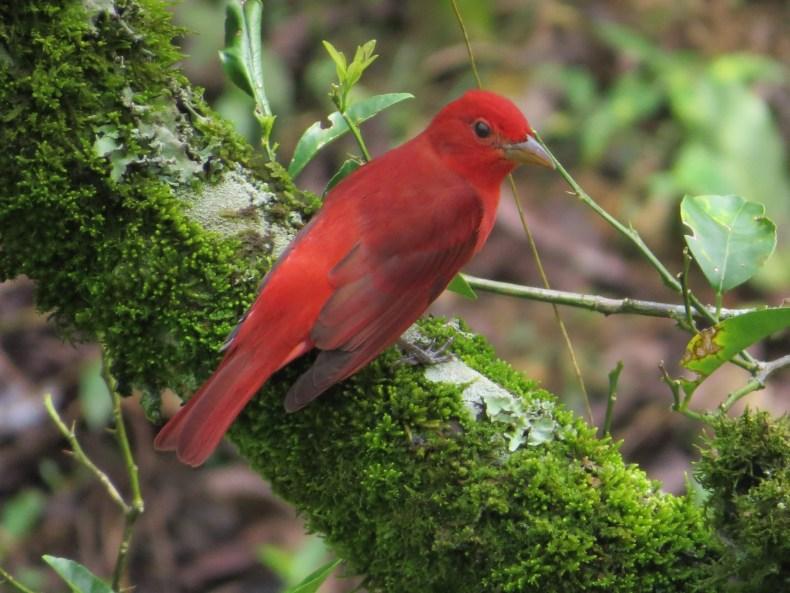 Piranga roja (Piranga rubra) / Summer Tanager. Fotografía: Sebastián Berrío