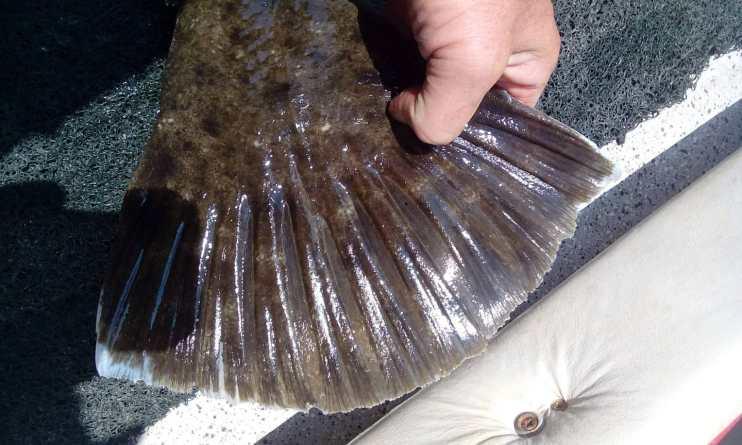 Huge Flounder Tail