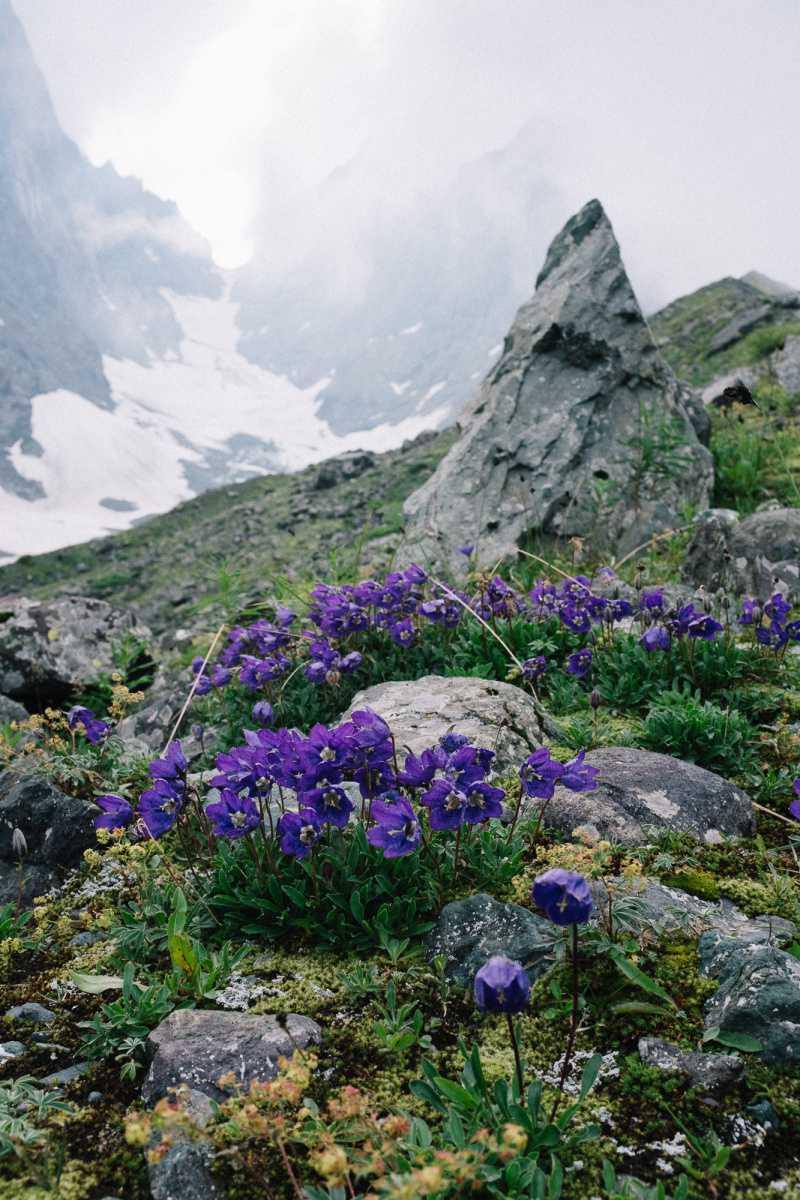 Wild flowers in front of Adudelauri glacier