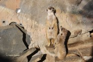 Erdmännchen im Affen- und Vogelpark Eckenhagen