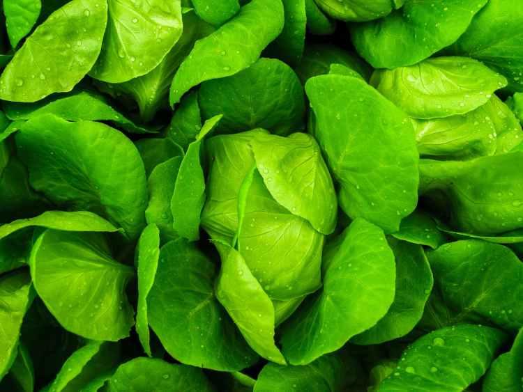 Grön bladsallad var främsta ingrediensen i cesarsallad