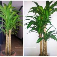 Plant of the Month: Dracaena Fragrans   Corn Plant   Fortune Plant