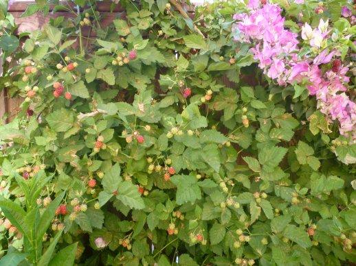 Resultado de imagen para blackberry plant