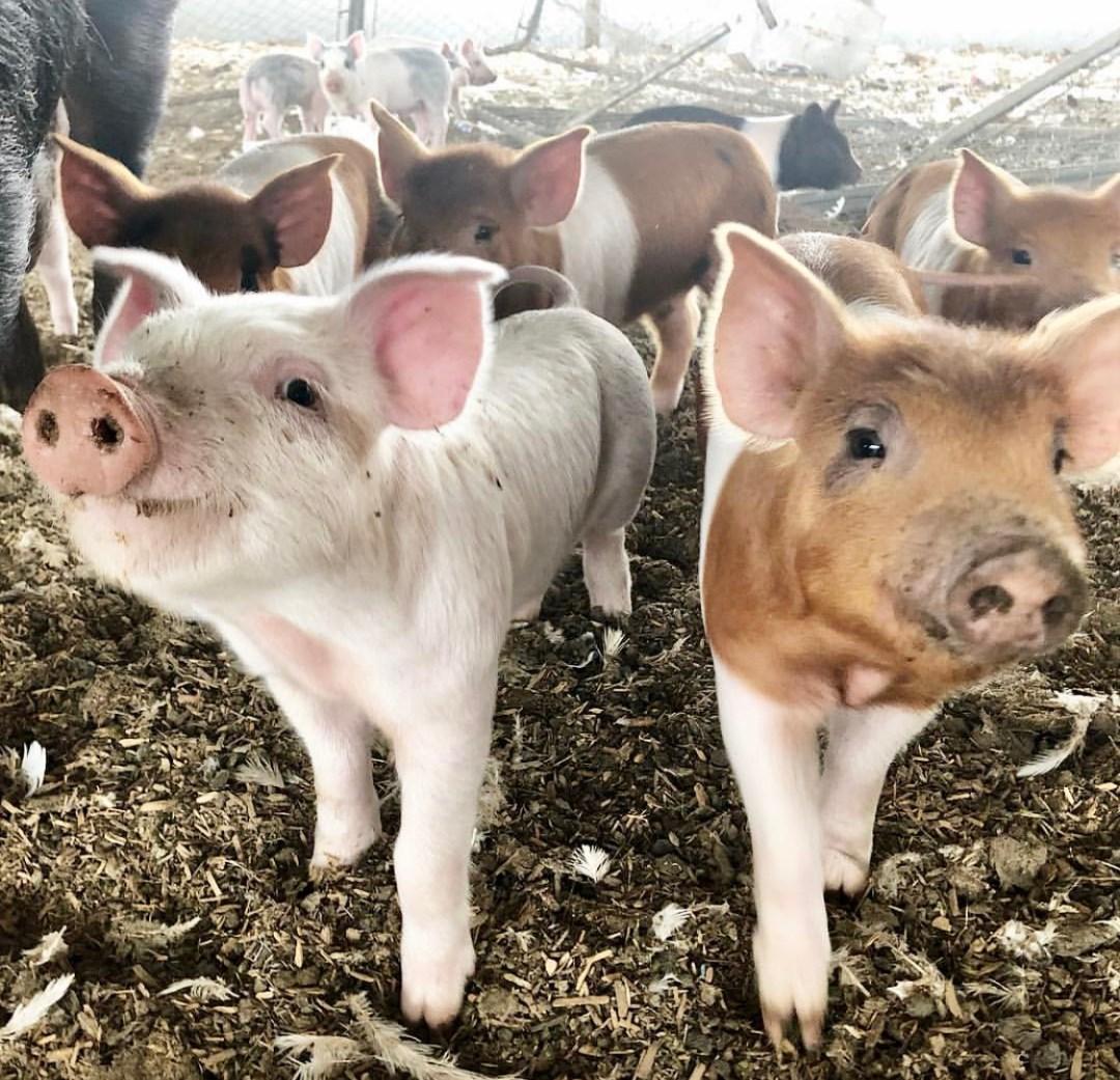 farm2bowl happy pigs