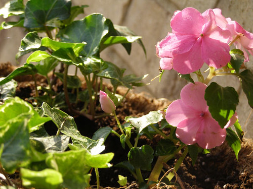 ivy and impatiens