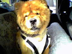 Dog wears seatbelt
