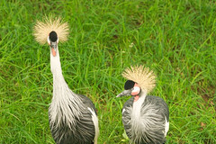 """CRW_8022: East African Cranes • <a style=""""font-size:0.8em;"""" href=""""http://www.flickr.com/photos/54494252@N00/13257302/"""" target=""""_blank"""">View on Flickr</a>"""