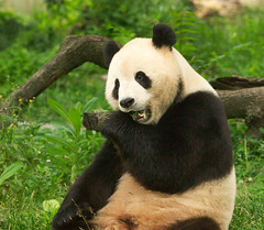 """CRW_8042: Hungry Panda • <a style=""""font-size:0.8em;"""" href=""""http://www.flickr.com/photos/54494252@N00/13257407/"""" target=""""_blank"""">View on Flickr</a>"""