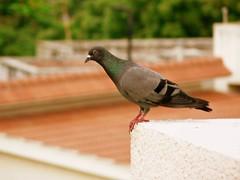 Beachroad pigeon