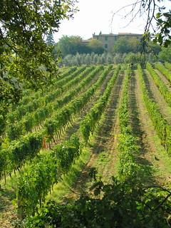 Brunello vineyard, Montalcino