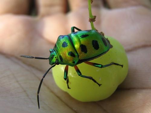 Инсект са метално зеленим оклопом (аутор Srini G)