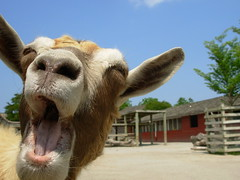 The Laughing Goat by joey_foto