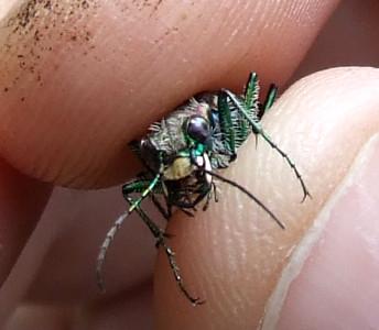 Cicindela ancocisconensis, the Appalachian tiger beetle