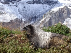 Marmot at Nisqually Glacier at Mt. Rainier, getting ready for the winter