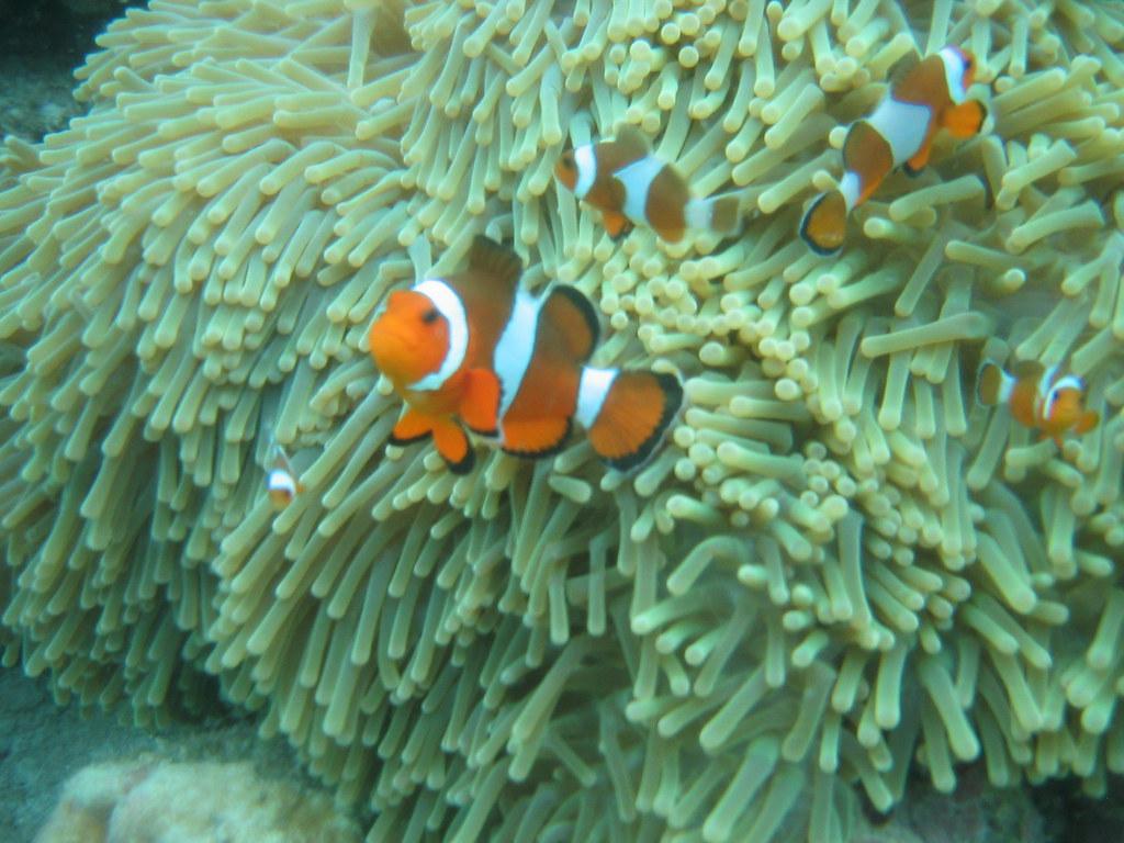 We found Nemo in Thailand!