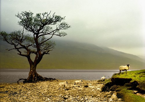 Sheep on Loch Lomond (Jody9 on Flickr:click image)