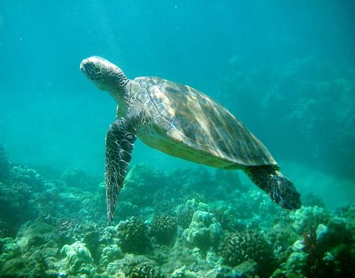 schöne Seeschildkröte auf Maui,Hawaii