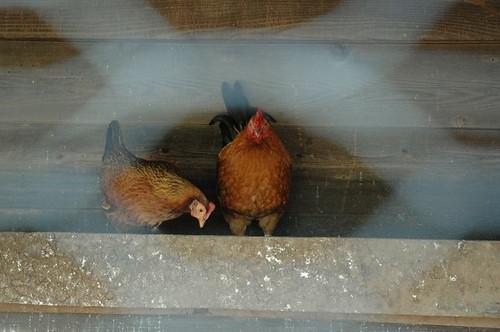 Chickens.  Ba-cock.