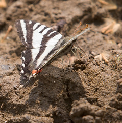 """IMG_5393: Zebra Swallowtail Butterfly • <a style=""""font-size:0.8em;"""" href=""""http://www.flickr.com/photos/54494252@N00/15876847/"""" target=""""_blank"""">View on Flickr</a>"""