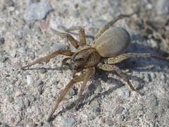 Female Wolf spider on sidewalk
