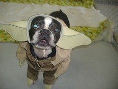 Oreo in his Yoda costume for Halloween
