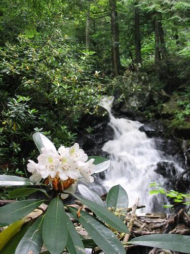 Mountain Laurel in Bloom by a Little Waterfall