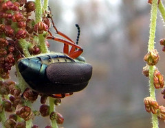 blister beetle backside