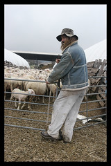 Sheep Shearer at Work
