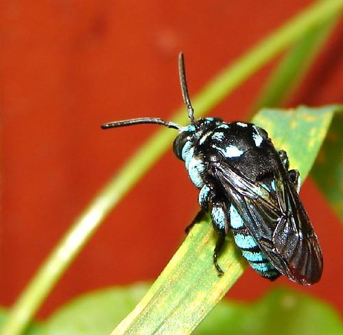 """Cloak & Dagger Cuckoo Bee""- An Australian native bee"