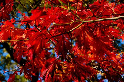 acer birminghambotanicalgardens
