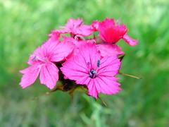Macro Fucsia Fiore - Flower - Dino Olivieri