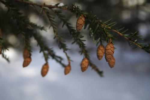 Hemlock Cones