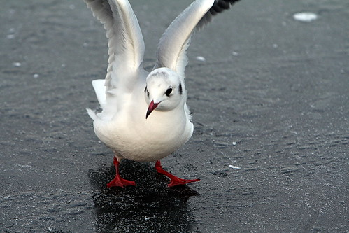 Seagull on ice image courtesy of dreamfire at www.Flickr.com