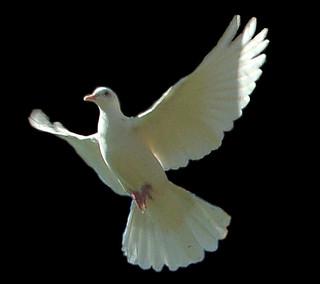 dove-object-black2